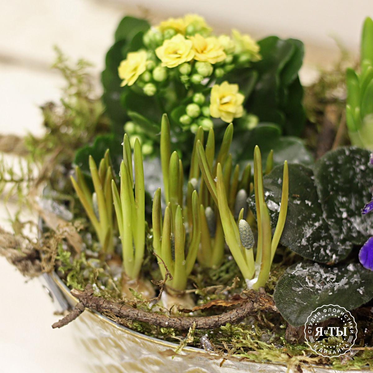 Композиция из луковичных растений, примулы и каланхое